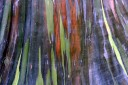 Colorful bark of a Mindanao Gum Tree