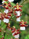 Oncidium in the Orchid Garden