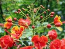 Royal Poinciana flowers and buds