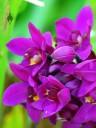 Spathoglottis flowers