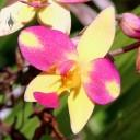 Spathoglottis hybrid