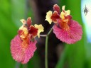Tolumnia hybrid in Foster Botanical Garden Orchid Conservatory