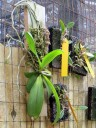 Mounted orchids including Moth Orchid on left