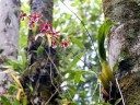 Oncidium hybrid mounted in tree