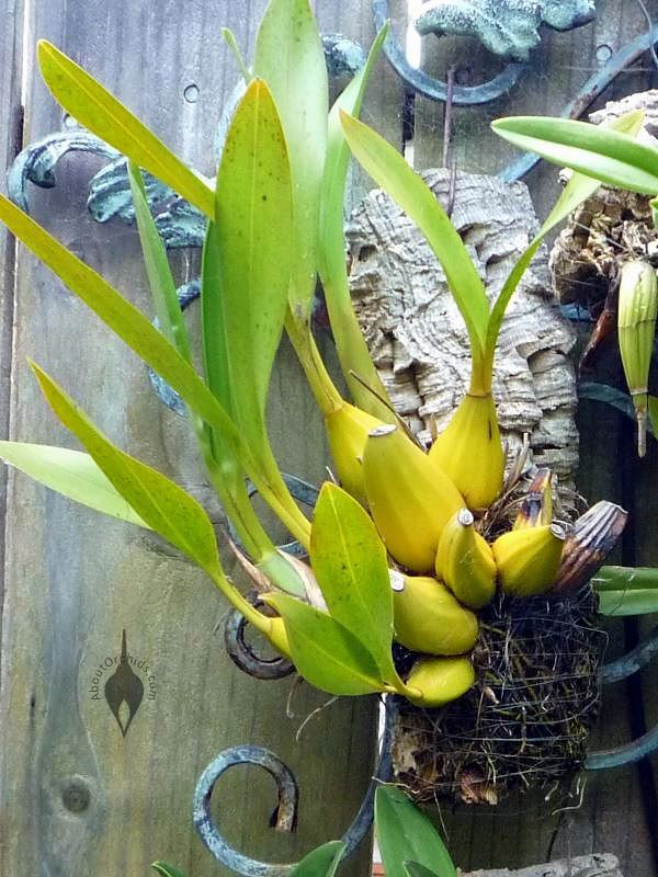 Aboutorchids 187 Blog Archive 187 Mounted Orchid Care