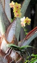 Moth Orchid mounted in palm tree