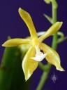 Phalaenopsis mannii var. aurea