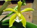 Flower of Phalaenopsis mannii var. aurea