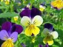 Violas in bloom