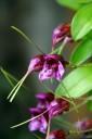 Masdevallia species
