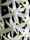 Mystacidium flowers close up