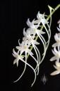 Mystacidium flowers showing nectar spurs