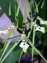 Oncidium hybrid
