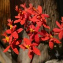 Epidendrum flowers with water drops