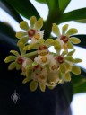 Gastrochilus flower cluster