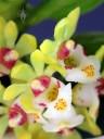 Gastrochilus flowers