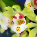 Gastrochilus flower close up