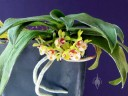 Gastrochilus flowers, leaves, and roots