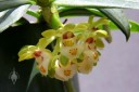 Gastrochilus flowers hanging below plant