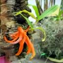 Mini Dendrobium species