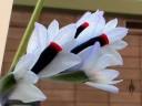 Mini Dendrobium flowers