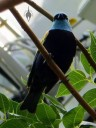 Blue-necked Tanager in the California Academy of Sciences Rainforest Exhibit