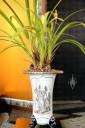 Cymbidium species in traditional Asian pot