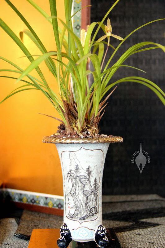 Cymbidium species in traditional Asian pot ...