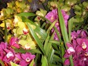 Cymbidium flowers and leaves
