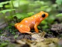 Golden Mantella Frog at the California Academy of Sciences