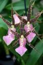 Miltassia hybrid