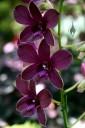 Dendrobium hybrid, Hawaii Tropical Botanical Garden, Papaikou, Hawaii