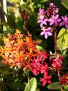 Red, orange, and purple Epidendrum flowers grown outdoors in San Francisco