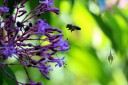 Honeybee flying to fuchsia tree flowers