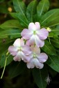 Impatiens flowers and leaves