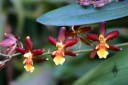 Oncidium flowers grown outdoors in San Francisco
