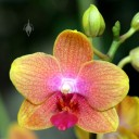 Moth Orchid flower and bud
