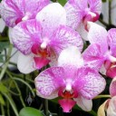 Moth Orchid flowers, Akatsuka Orchids, Volcano, Hawaii