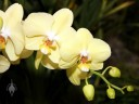 Moth Orchid flowers and buds, Pacific Orchid Expo 2012