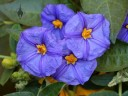 Solanum flowers grown outdoors in San Francisco
