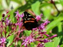 Butterfly in fuchsia tree in San Francisco