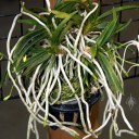 Neofinetia falcata, Samurai Orchid, showing roots at Orchids in the Park 2010, San Francisco