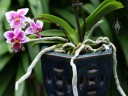 Moth Orchid hybrid, Phalaenopsis, showing leaves and roots
