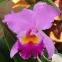 Cattleya hybrid flower, Foster Botanical Garden, Honolulu, Hawaii