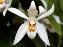 Coelogyne corymbosa, Pacific Orchid Expo 2013, San Francisco