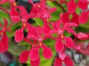 Renanthera hybrid flowers, Kawamoto Orchid Nursery, Honolulu, Hawaii