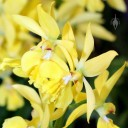 Calanthe flowers, orchid species, Pacific Orchid Expo 2014, San Francisco