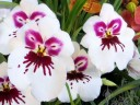 Miltonia flowers, orchid hybrid, Pacific Orchid Expo 2014, San Francisco