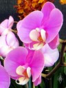 Moth Orchid flowers, Phalaenopsis Taisuco Anna, orchid hybrid, Pacific Orchid Expo 2014, San Francisco