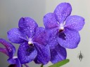 Vanda flowers, orchid hybrid, Pacific Orchid Expo 2014, San Francisco